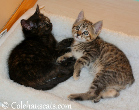 The Niblet girls Illy and Viola - 2013 © Colehaus Cats