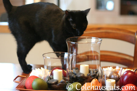 Official Seasonal Supervisor Olivia - 2013 © Colehaus Cats
