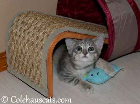 Playful Robbie Niblet at 8 weeks old - 2013 © Colehaus Cats