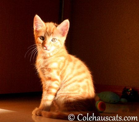 Sunny Russell Niblet at 8 weeks old - 2013 © Colehaus Cats