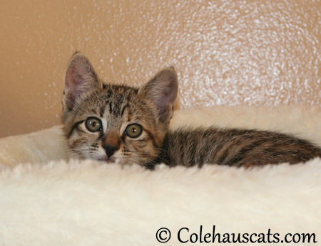 Little Viola Niblet at 8 weeks old - 2013 © Colehaus Cats