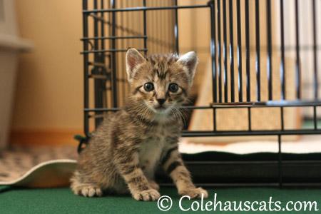 Littlest Niblet Viola - 2013 © Colehaus Cats