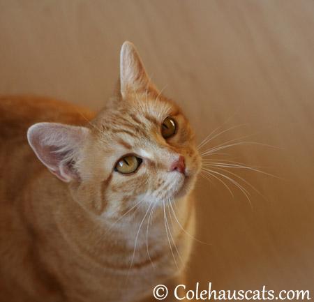 Our hopeful Erinn Zuzu - 2013 © Colehaus Cats