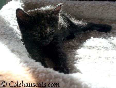 Sleepy Illy Niblet - 2013 © Colehaus Cats