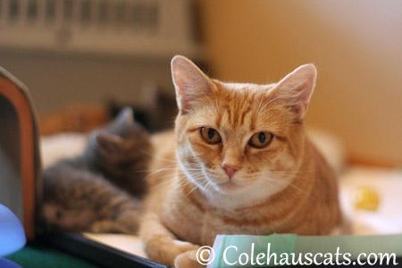 Momcat Erinn Zuzu - 2013 © Colehaus Cats