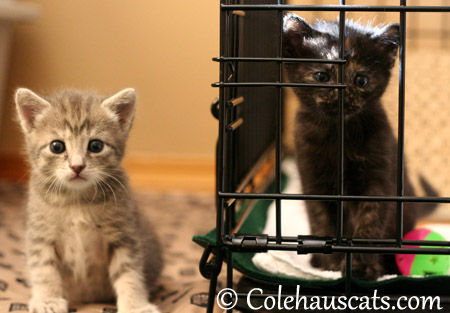 Robbie and Illy Niblet at 4 weeks - 2013 © Colehaus Cats