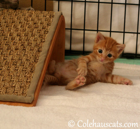 Russell Niblet at 4 weeks - 2013 © Colehaus Cats
