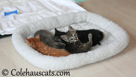 Almost sleepy Niblets - 2013 © Colehaus Cats