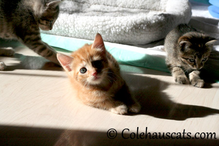 Three Niblets - 2013 © Colehaus Cats