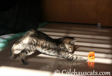 Viola's favorite toy - 2013 © Colehaus Cats