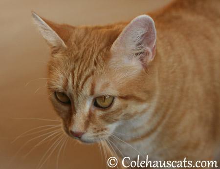 Erinn Zuzu ponders - 2013 © Colehaus Cats