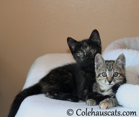 Illy and Viola at nine weeks - 2013 © Colehaus Cats