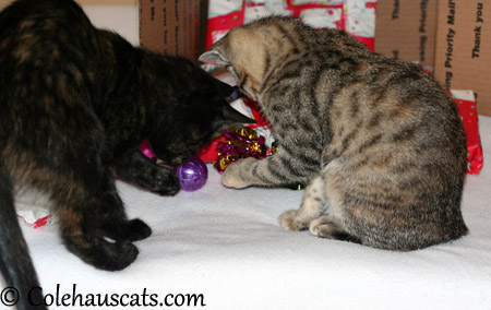 Illy and Viola check out crinkle and jingly balls - 2013 © Colehaus Cats