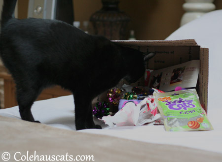 Olivia inspects the Santa Paws bounty - 2013 © Colehaus Cats