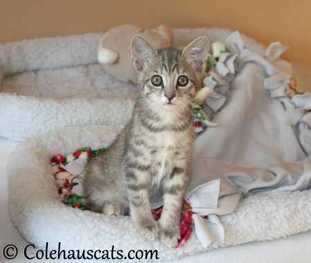 Robbie Niblet at 9 weeks - 2013 © Colehaus Cats