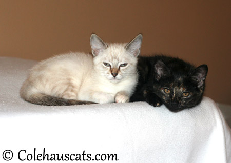 Sisters for real Winter and Illy, December 2013 - 2013 © Colehaus Cats