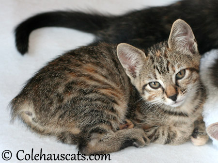 Viola Niblet at 9 weeks - 2013 © Colehaus Cats