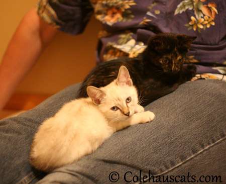 Winter and Illy enjoy Dad's lap - 2013 © Colehaus Cats