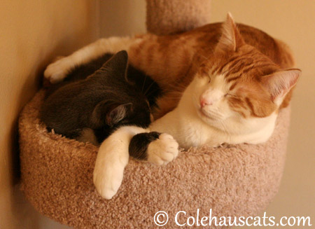 Napping with his best friend Tessa - 2013 © Colehaus Cats
