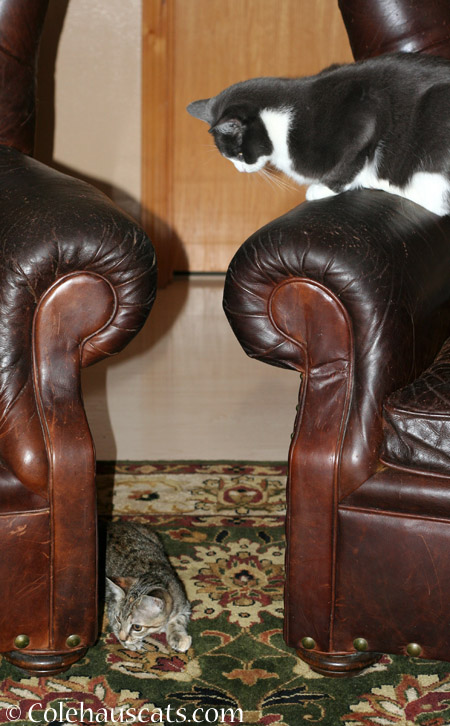 For all the growling, Tessa sure keeps an eye on Viola - 2014 © Colehaus Cats