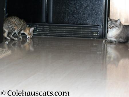 Maxx approves - 2014 © Colehaus Cats