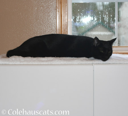 Olivia rests her case - 2014 © Colehaus Cats