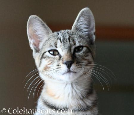 Viola - 2014 © Colehaus Cats