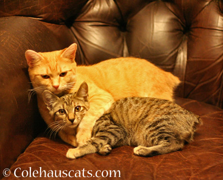Our bobtail girls Zuzu and Viola - 2014 © Colehaus Cats