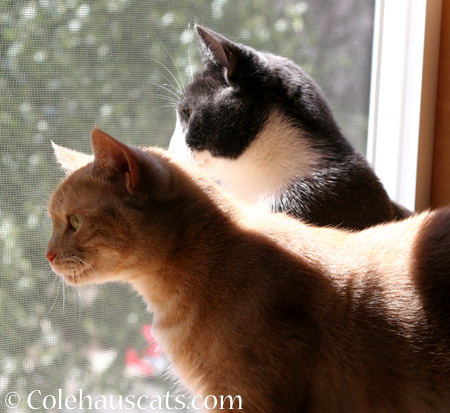 Watching the garbage truck - 2014 © Colehaus Cats