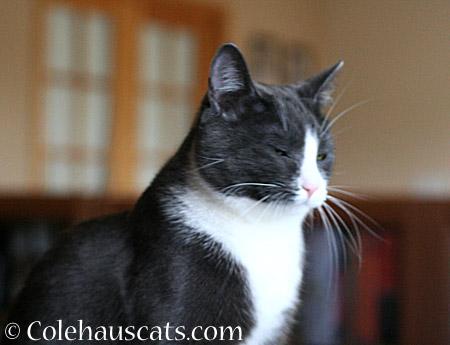 Wary Tessa - 2014 © Colehaus Cats