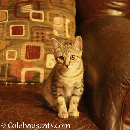 Wee Viola - 2014 © Colehaus Cats