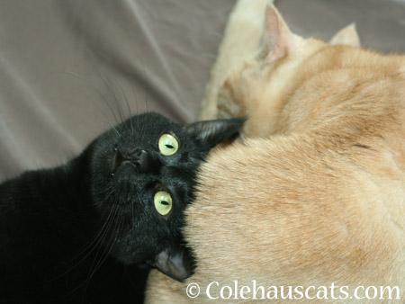 Olivia's teefs - 2014 © Colehaus Cats