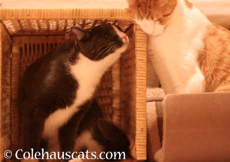 Tessa, her basket and Quint - 2014 © Colehaus Cats