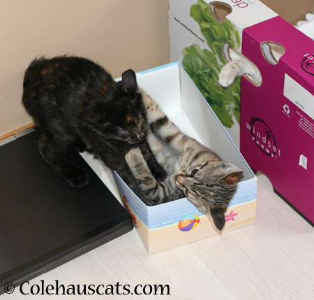 Wee Illy, Viola and Winter playing with Trapacat - 2014 © Colehaus Cats