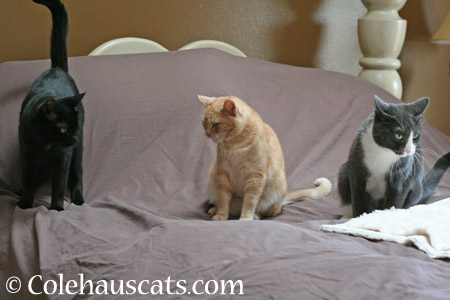 Olivia, Miss Newton, and Tessa - 2014 © Colehaus Cats