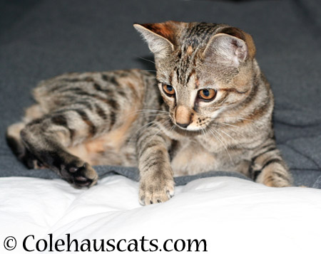 Viola's Tabby Forehead - 2014 © Colehaus Cats