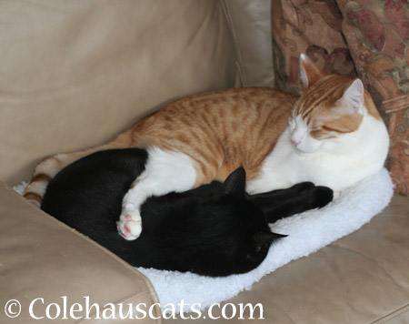 Snuggle bugs Olivia and Quint - 2014 © Colehaus Cats