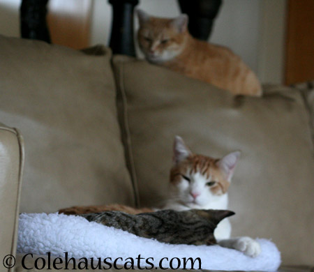 Watchful mama Zuzu over snuggle bugs Viola and Quint - 2014 © Colehaus Cats