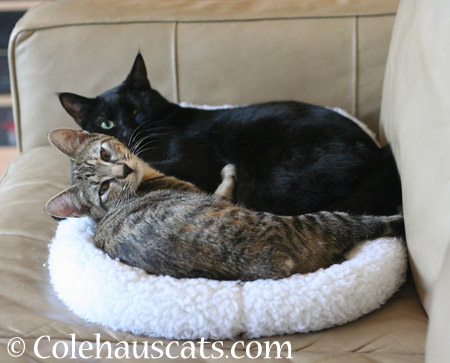 Snuggle bugs Viola and Olivia - 2014 © Colehaus Cats