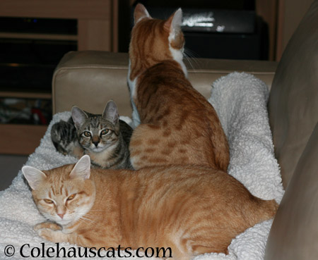 Zuzu, Viola, and Quint - 2014 © Colehaus Cats