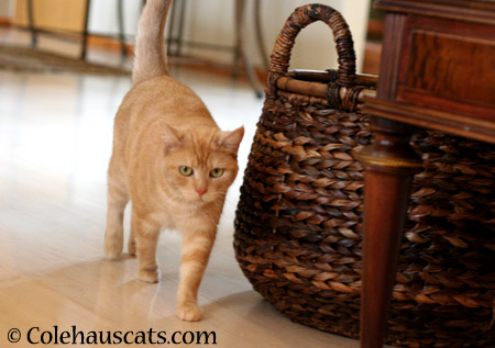 Miss Newton on patrol - 2014 © Colehaus Cats