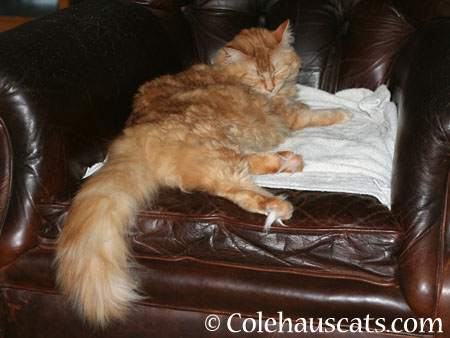 Pia Poofy Toes! - 2014 © Colehaus Cats