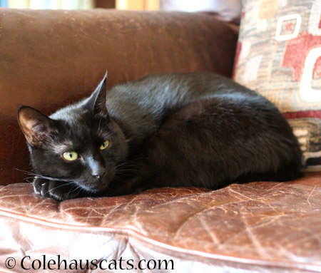 Olivia relaxes - 2014 © Colehaus Cats