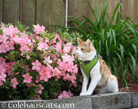 Quint's Spring Walk - 2014 © Colehaus Cats