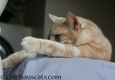 Miss Newton ponders - 2014 © Colehaus Cats