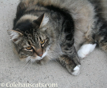 Colehaus Visitor Scruffy  - 2014 © Colehaus Cats