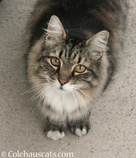 Scruffy  - 2014 © Colehaus Cats
