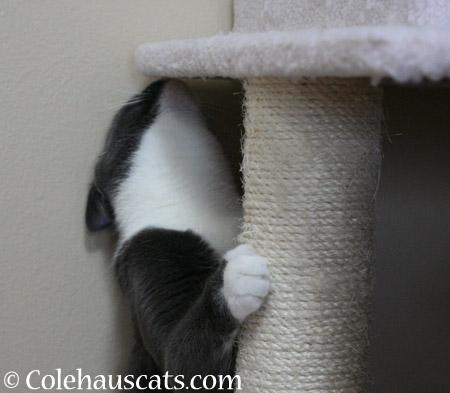 Sniffer Tessa - 2014 © Colehaus Cats