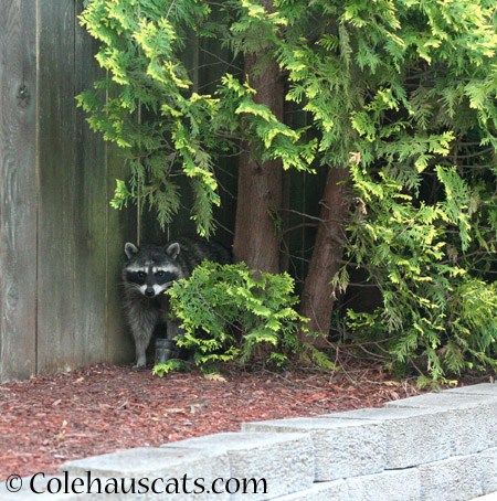 Trouble the raccoon - 2014 © Colehaus Cats