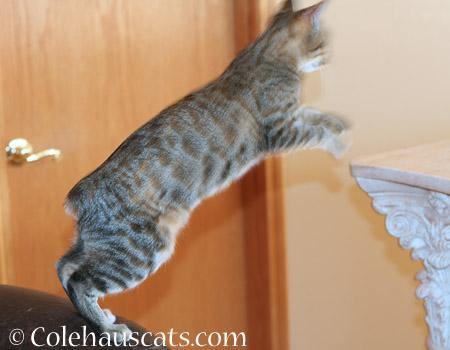 Jumping Viola - 2014 © Colehaus Cats